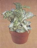 Gold Dust Dracaena
